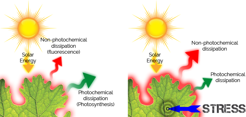 Basic principles of chlorophyll fluorescence